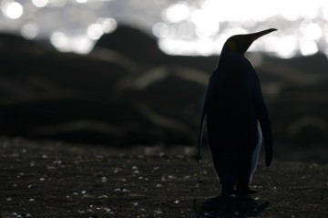 f2.8 and backlighting - yaaaay!  King Penguin at dawn.
