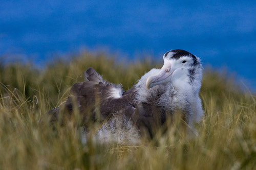 Wandering Albatross Chick - biggest baby bird I've ever seen!  We need a turkey this size for Thanksgiving.