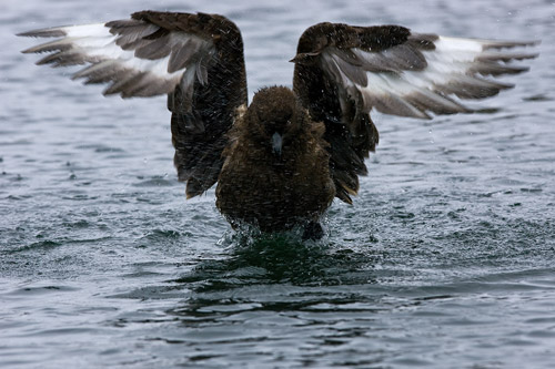 Skua bathing at Stromness