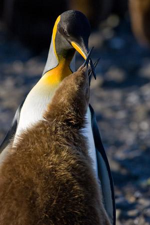 King Penguin feeding her Oakum Boy