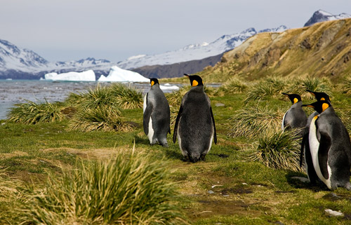 King Penguins heading back to sea at Grytviken