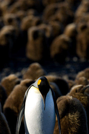 King Penguin at Salisbury Plain